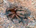 spider - Callobius