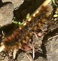Unknown caterpillar  - Lophocampa argentata