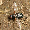 Fly eating bird dropping - Euxesta - male