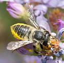 Megachile - female