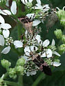 Plant bug - Hypselonotus punctiventris - Hypselonotus punctiventris