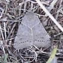 Marbled Gray Moth - Caenurgina erechtea