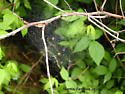 Spider - Frontinella communis