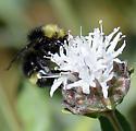 Bumblebee - Bombus vandykei
