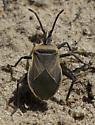 beetle Cactus Beetle - Chelinidae vittiger? - Chelinidea vittiger