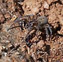 Hacklemesh Weaver - Amaurobius ferox
