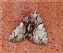 Catocala blandula - Catocala