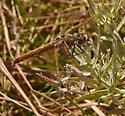 Variegated Meadowhawk 706A 7389 - Sympetrum corruptum - female