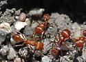 Harvester Ant for California in November - Pogonomyrmex