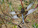 Dragonfly Along the American River - Libellula luctuosa