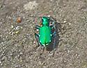 Six-spotted Tiger Beetle (Cicindela sexguttata) - Cicindela sexguttata