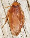 cockroach - Parcoblatta virginica? - Parcoblatta