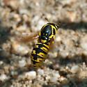 Which Pseudomasaris? - Pseudomasaris vespoides - female