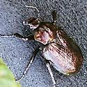 Beautiful beetle - Osmoderma scabra