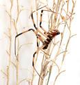 Male Latrodectus Northern or Southern? - Latrodectus mactans - male
