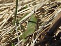 Northern Green-striped Grasshopper  - Chortophaga viridifasciata