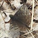 Butterfly - Erynnis juvenalis