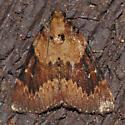 Moth - Omphalocera munroei