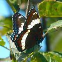 Dark butterfly - Limenitis arthemis