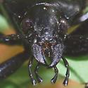 Calosoma peregrinator