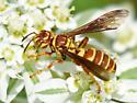 Square-headed Wasp - Cerceris intricata - female