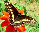 Eastern black swallowtail - Papilio polyxenes - male