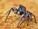 Blue-Faced Habronattus Male - Habronattus borealis - male