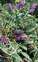 Butterfly - Battus philenor