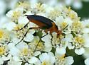 Flower Beetle ID Request - Macrosiagon limbata - female