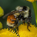Unknown Bumble Bee - Bombus ternarius