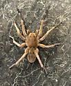 unknown spider - Geolycosa missouriensis