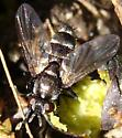 Small Tachinid - Admontia - female