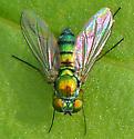 Condylostylus - female