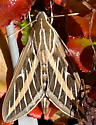 Lined sphinx - Hyles lineata