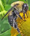 Bee - Bombus griseocollis - female