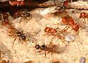 Winged males and females - Pogonomyrmex californicus - male - female
