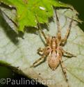 Small Spider - Anyphaena