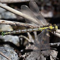 Grappletail, teneral male - Octogomphus specularis - male