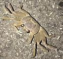 Crabs - Ocypode quadrata