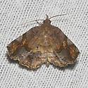Decorated Owlet - Hodges#8490 - Pangrapta decoralis