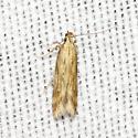 Burdock Seedhead Moth - Metzneria lappella