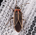Hemipteran for ID - Ochrimnus mimulus