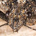 Brochymena chelonoides? - Brochymena chelonoides