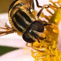 Helophilus fasciatus? - Helophilus fasciatus - female