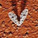 Strange White (Fly???) - Euklastus harti
