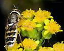 New Odontomyia species for BugGuide - Odontomyia hirtocculata - female