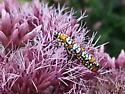 What is this beautiful insect? - Atteva aurea