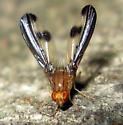 Flutter Fly  - Toxonevra
