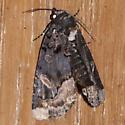 Moth 823-04 - Homophoberia apicosa