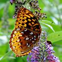 fritillary - great-spangled Speyeria cybele - Speyeria cybele